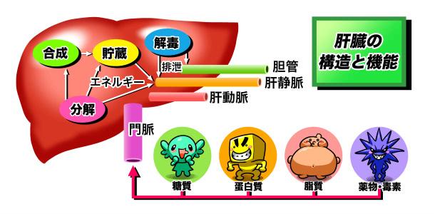 肝臓の構造と機能