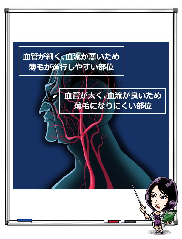 毛髪に関係ある血管のイラスト